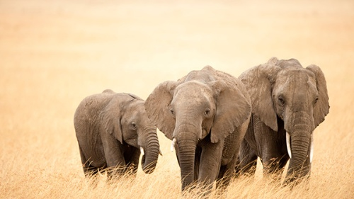 elephants-in-the-wild